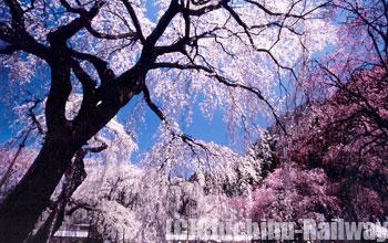 清雲寺・しだれ桜 (せいうんじ・しだれざくら)