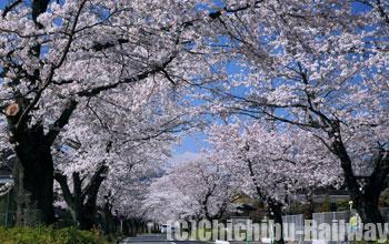 長瀞町の桜(ながとろまちのさくら)