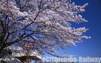 美の山公園・桜(みのやまこうえん・さくら)