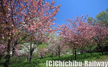 長瀞通り抜けの桜(ながとろとおりぬけのさくら)