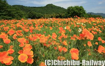 花の里長瀞・ハナビシソウ園 (はなのさとながとろ・はなびしそうえん)