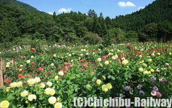 両神山麓花の郷 ダリア園(りょうかみさんろくはなのさと だりあえん)